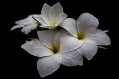 Il nero del fondo dei fiori bianchi nella sera a Surat Tailandia fotografia stock