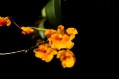 Il nero del fondo dei fiori bianchi a Surat uguagliante Tailandia fotografie stock libere da diritti