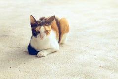 Il nero del gatto del ritratto bianco e colore arancio che si siede sul pavimento Fotografie Stock Libere da Diritti