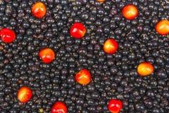 Il nero del ribes, ciliegia, lamponi Cenni storici delle bacche Ribes organico fresco dal giardino del villaggio Ribes organico Fotografia Stock