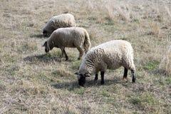 Il nero della Suffolk ha affrontato le pecore che pascono sul pascolo Fotografie Stock