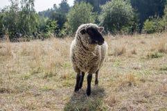 Il nero della Suffolk ha affrontato le pecore che pascono sul pascolo Immagine Stock Libera da Diritti