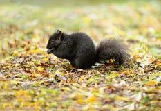 Il nero dello scoiattolo Fotografia Stock
