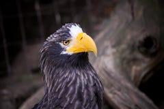 Il nero di Eagle Immagini Stock