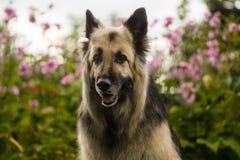 Il nero e cane da pastore tedesco dai capelli lunghi della crema Immagine Stock Libera da Diritti