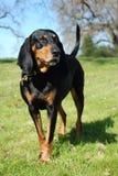 Il nero e Coonhound del Tan Immagini Stock