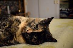 Il nero e marrone del gatto Immagini Stock
