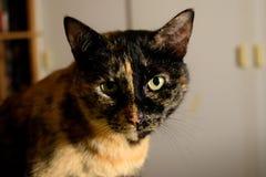 Il nero e marrone del gatto Fotografie Stock