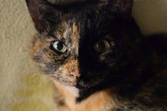 Il nero e marrone del gatto Immagini Stock Libere da Diritti