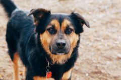 Il nero e ritratto del cane dell'oro Immagini Stock