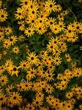 Il nero eyed i fiori della susan fotografia stock libera da diritti