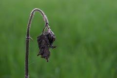 Il nero fiorisce il contesto morto e verde perenne è giacimento del riso Immagini Stock