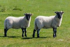 Il nero ha affrontato gli agnelli Immagini Stock Libere da Diritti