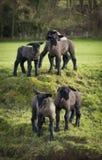 Il nero ha affrontato gli agnelli in un campo di Dorset Immagine Stock