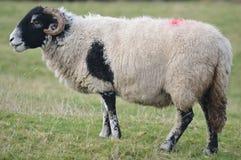 Il nero ha affrontato il lato completo delle pecore sopra Immagine Stock Libera da Diritti