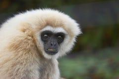 Il nero ha affrontato la scimmia del Capuchin Fotografia Stock