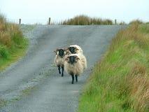 Il nero ha affrontato le pecore Immagini Stock