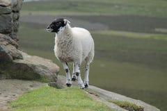 Il nero ha affrontato le pecore. Fotografia Stock