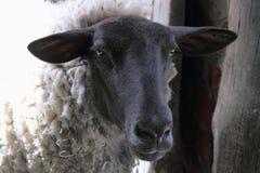 Il nero ha affrontato le pecore Immagini Stock Libere da Diritti