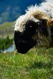 Il nero ha affrontato le pecore in montagne svizzere Fotografia Stock