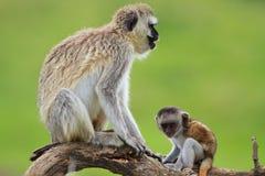 Il nero ha affrontato le scimmie di vervet Fotografie Stock