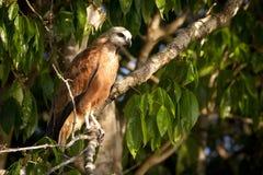 Il nero ha messo un colletto il falco che guarda intento la sua preda Fotografie Stock Libere da Diritti