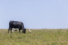 Il nero Hillside della mucca del bestiame Immagine Stock Libera da Diritti