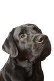 Il nero labrador del cane isolato su bianco Fotografie Stock Libere da Diritti