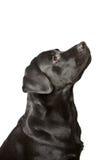 Il nero labrador del cane osserva verso l'alto. fotografia stock libera da diritti