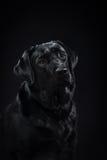 Il nero labrador della razza del cane del ritratto su uno studio Fotografie Stock