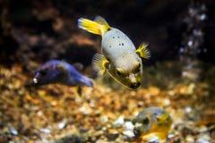 Il nero macchiato o il cane ha affrontato l'arothron nigropunctatus del pesce della soffiatore immagine stock