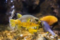 Il nero macchiato o il cane ha affrontato l'arothron nigropunctatus del pesce della soffiatore immagine stock libera da diritti