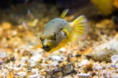 Il nero macchiato o il cane ha affrontato l'arothron nigropunctatus del pesce della soffiatore immagini stock libere da diritti