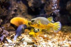 Il nero macchiato o il cane ha affrontato l'arothron nigropunctatus del pesce della soffiatore fotografie stock libere da diritti