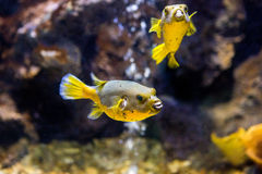 Il nero macchiato o il cane ha affrontato l'arothron nigropunctatus del pesce della soffiatore fotografia stock libera da diritti