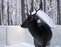Il nero maschio dei cervi con i bei corni Fotografia Stock Libera da Diritti