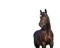 Il nero piacevole del cavallo isolato su bianco Fotografia Stock Libera da Diritti