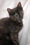 Il nero sveglio del gattino con lo zenzero Fotografie Stock Libere da Diritti