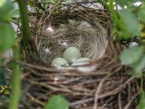 Il nido comune del fanello sul cespuglio immagini stock