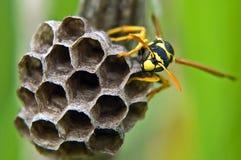 Il nido del calabrone Immagini Stock Libere da Diritti