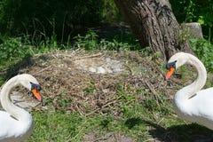 Il nido del cigno in Heiligenhaus fotografie stock libere da diritti
