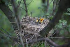 Il nido dell'uccello con i pulcini in un albero Immagini Stock