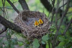Il nido dell'uccello con i pulcini in un albero Immagine Stock Libera da Diritti