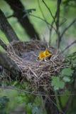 Il nido dell'uccello con i pulcini in un albero Fotografia Stock