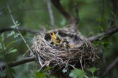 Il nido dell'uccello con i pulcini in un albero Immagini Stock Libere da Diritti