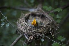Il nido dell'uccello con i pulcini in un albero Fotografia Stock Libera da Diritti