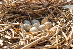 Il nido dell'uccello in habitat naturale Immagini Stock