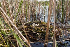 Il nido dell'uccello nel loro habitat naturale Immagine Stock