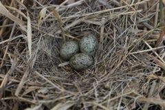 Il nido dell'uccello nel loro habitat naturale Fotografia Stock