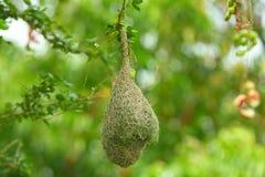 Il nido dell'uccello sull'albero Immagine Stock